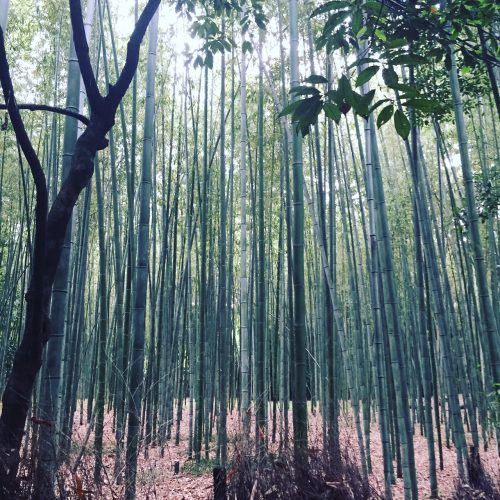 forêt bambous arashiyama